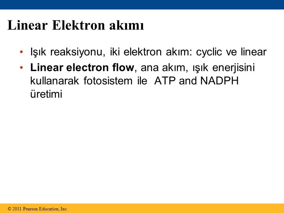 Linear Elektron akımı Işık reaksiyonu, iki elektron akım: cyclic ve linear.