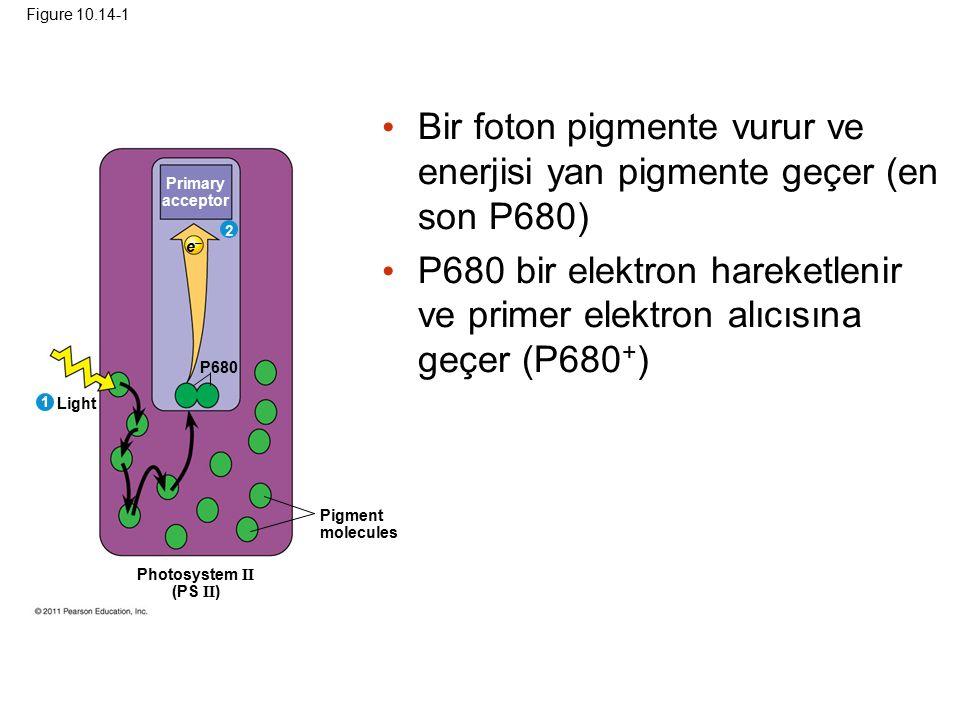 Bir foton pigmente vurur ve enerjisi yan pigmente geçer (en son P680)