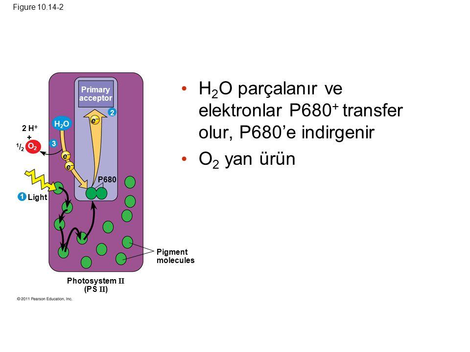 H2O parçalanır ve elektronlar P680+ transfer olur, P680'e indirgenir