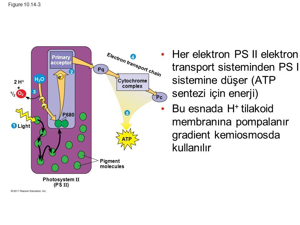Figure 10.14-3 Her elektron PS II elektron transport sisteminden PS I sistemine düşer (ATP sentezi için enerji)