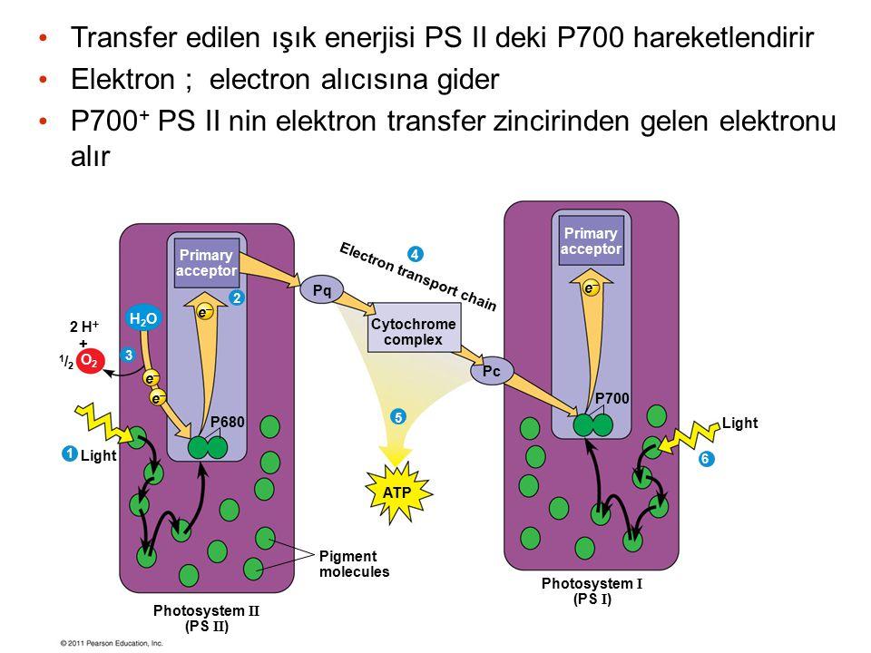 Transfer edilen ışık enerjisi PS II deki P700 hareketlendirir