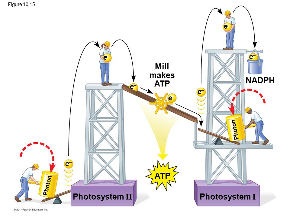Mill makes ATP NADPH ATP Photosystem II Photosystem I e e e e e