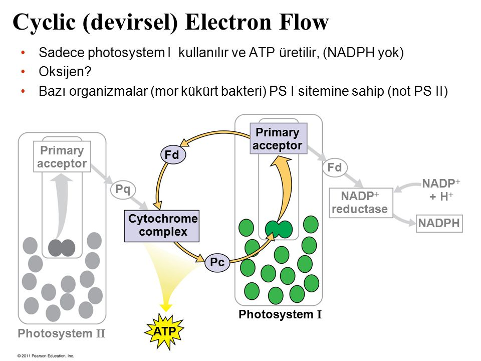 Cyclic (devirsel) Electron Flow