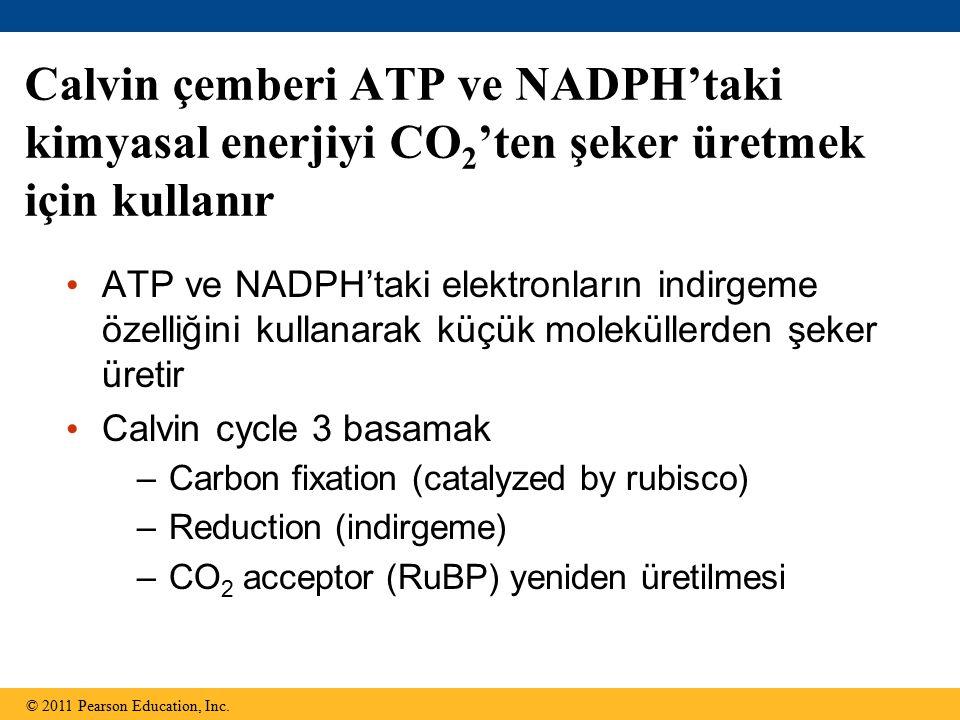 Calvin çemberi ATP ve NADPH'taki kimyasal enerjiyi CO2'ten şeker üretmek için kullanır