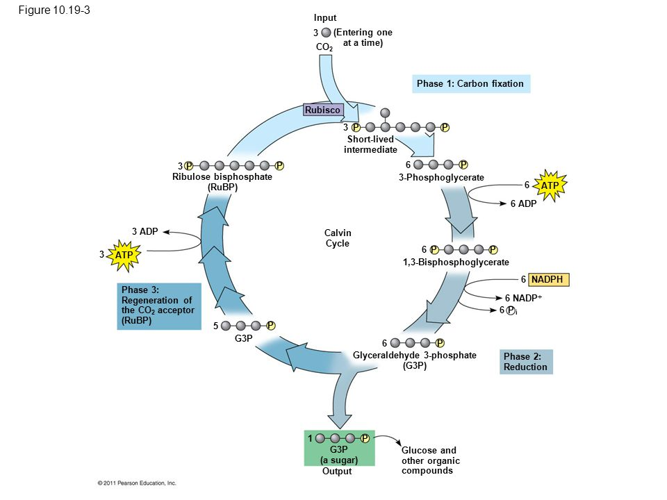 Figure 10.19 The Calvin cycle.
