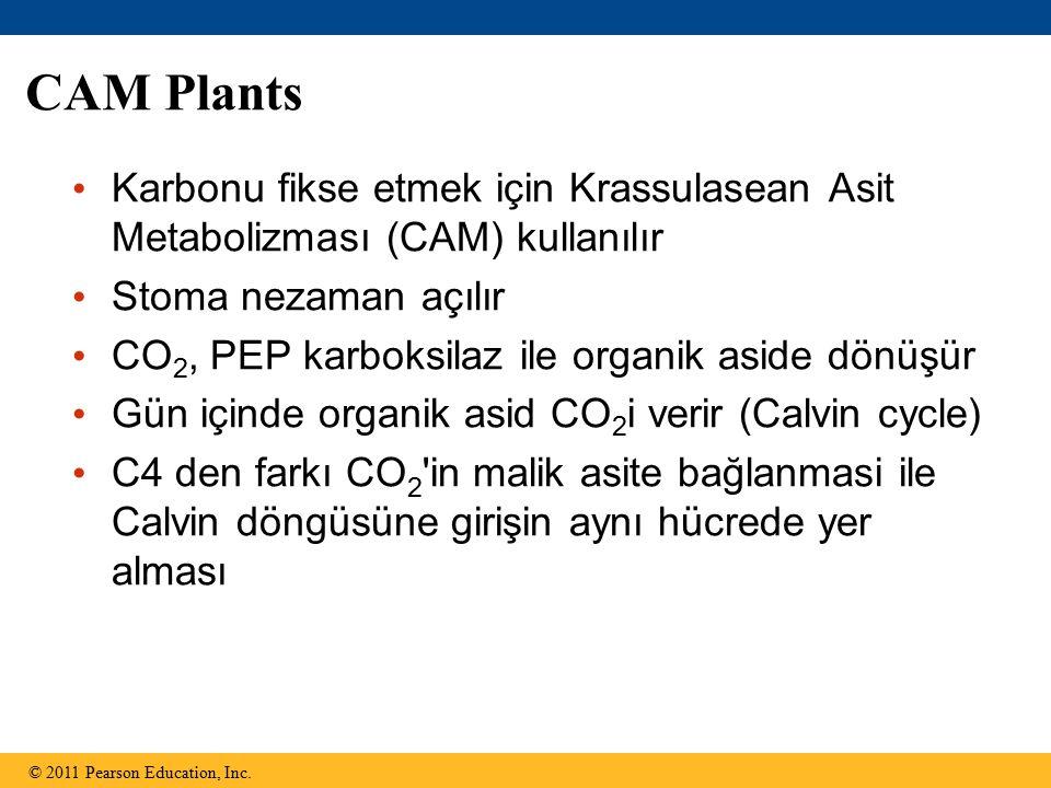 CAM Plants Karbonu fikse etmek için Krassulasean Asit Metabolizması (CAM) kullanılır. Stoma nezaman açılır.