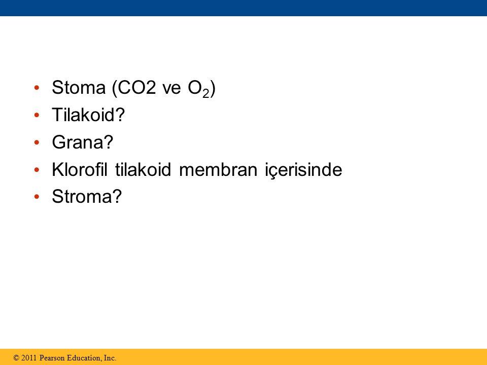 Klorofil tilakoid membran içerisinde Stroma