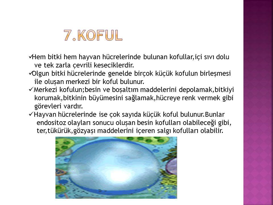 7.koful Hem bitki hem hayvan hücrelerinde bulunan kofullar,içi sıvı dolu. ve tek zarla çevrili keseciklerdir.