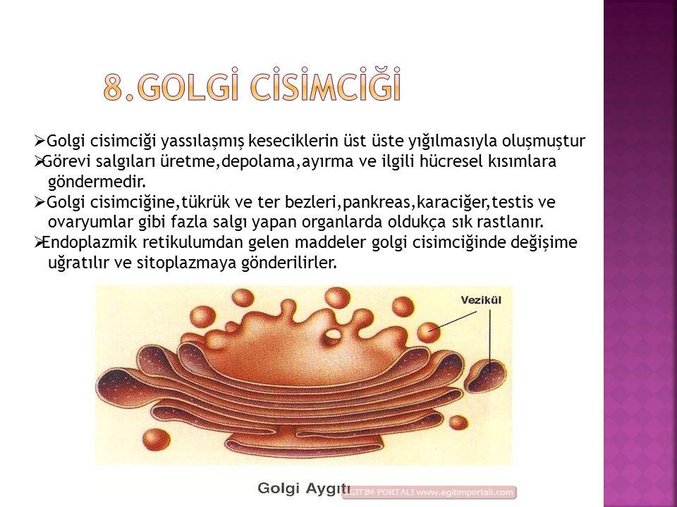 8.Golgİ cİsİmcİğİ Golgi cisimciği yassılaşmış keseciklerin üst üste yığılmasıyla oluşmuştur.