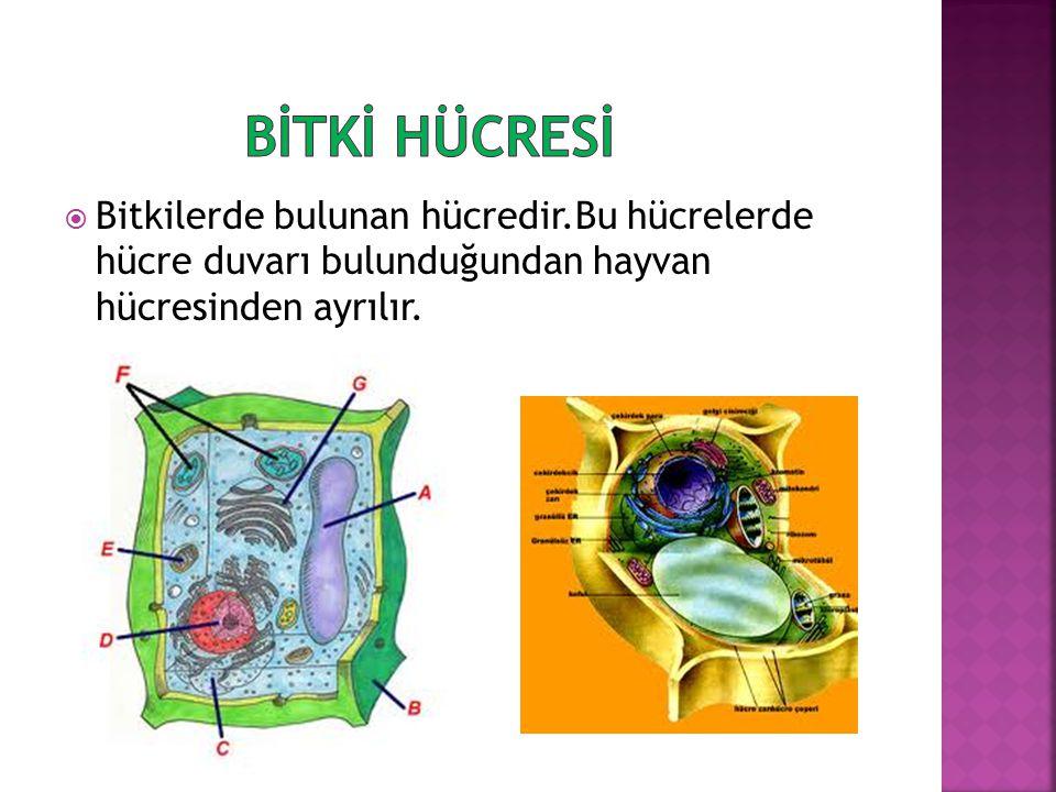 BİTKİ HÜCRESİ Bitkilerde bulunan hücredir.Bu hücrelerde hücre duvarı bulunduğundan hayvan hücresinden ayrılır.