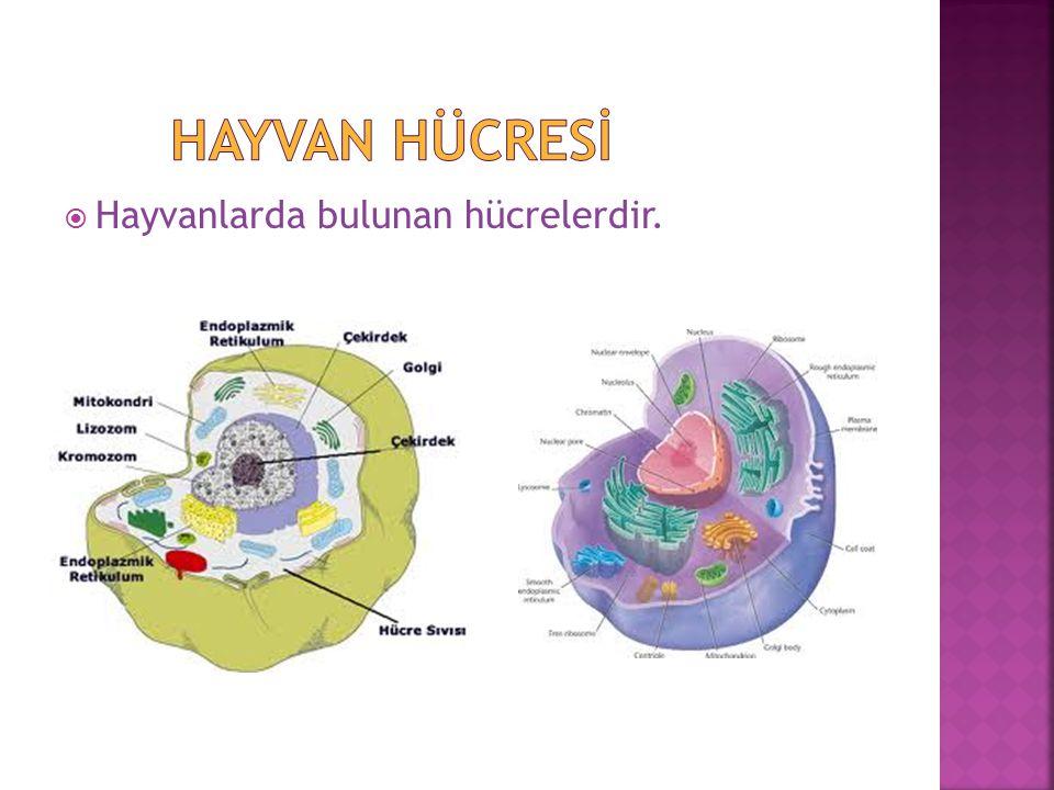 Hayvan Hücresİ Hayvanlarda bulunan hücrelerdir.