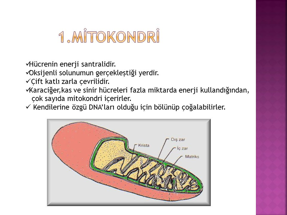 1.MİTOKONDRİ Hücrenin enerji santralidir.