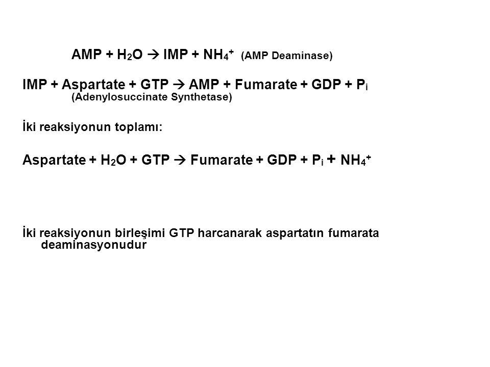 AMP + H2O  IMP + NH4+ (AMP Deaminase)