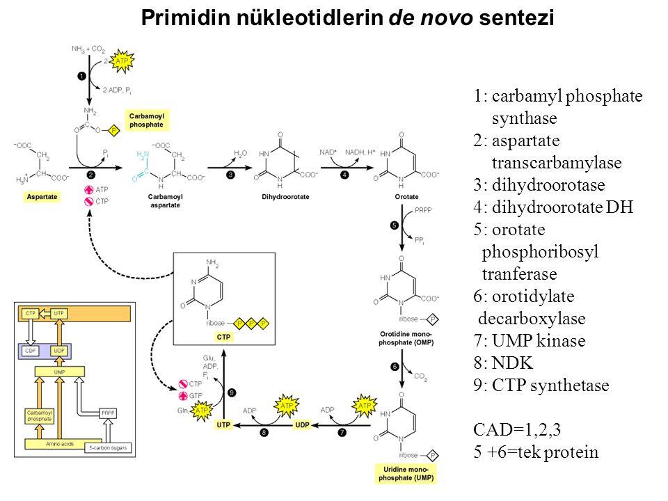 Primidin nükleotidlerin de novo sentezi