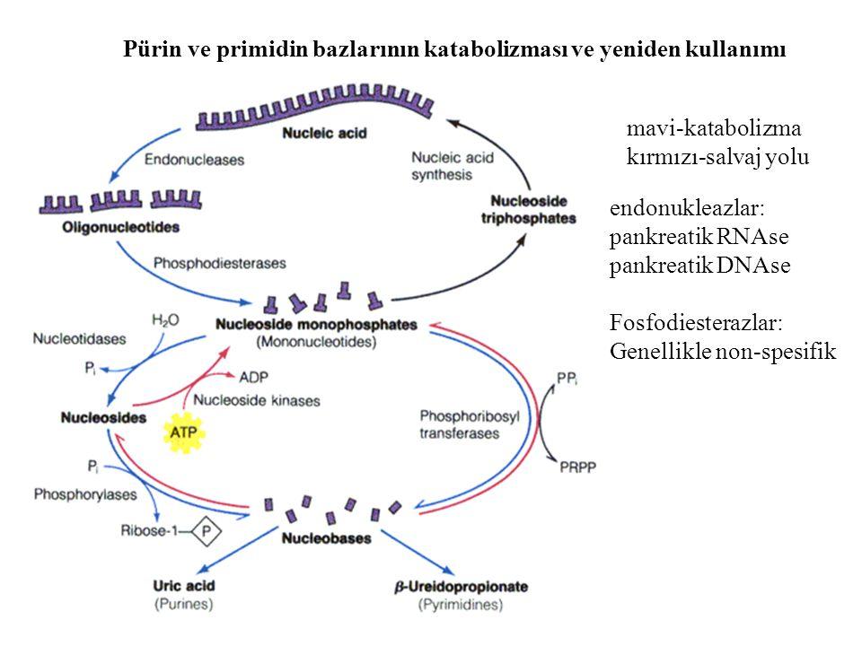 Pürin ve primidin bazlarının katabolizması ve yeniden kullanımı