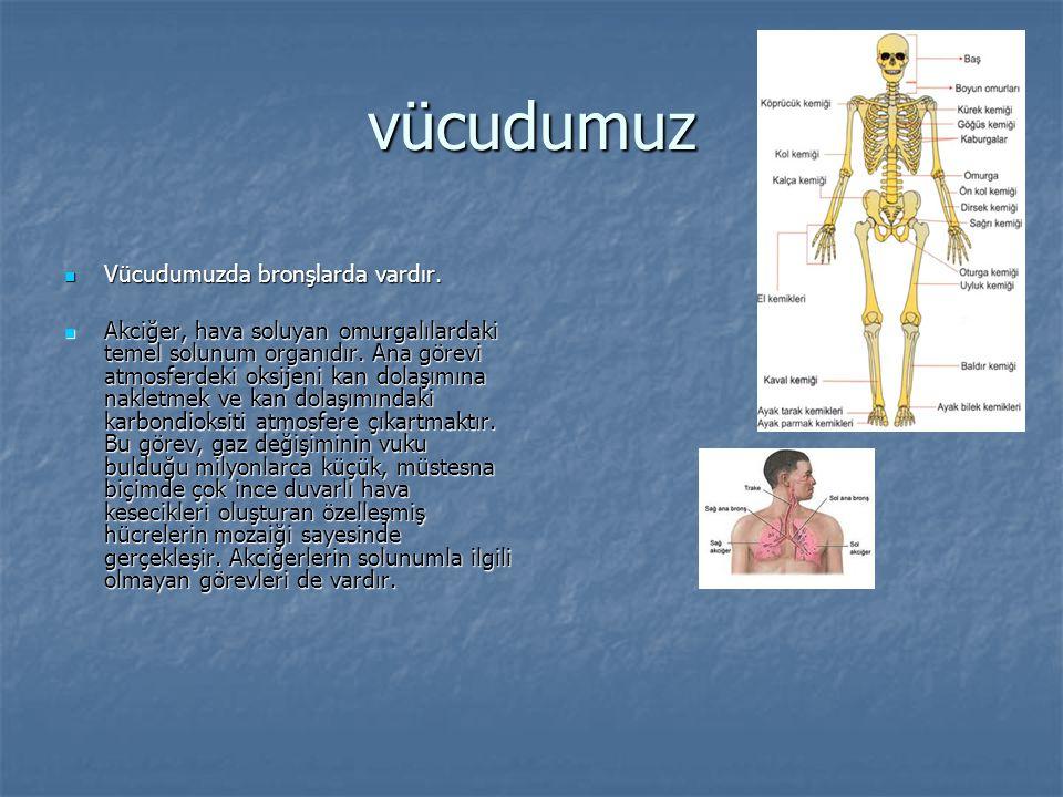 vücudumuz Vücudumuzda bronşlarda vardır.