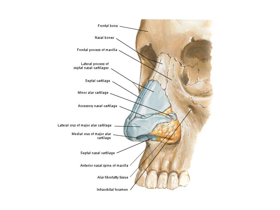 Nasal kemik küçük ve dikdörtgen şeklinde 2 adet kemikten oluşur.
