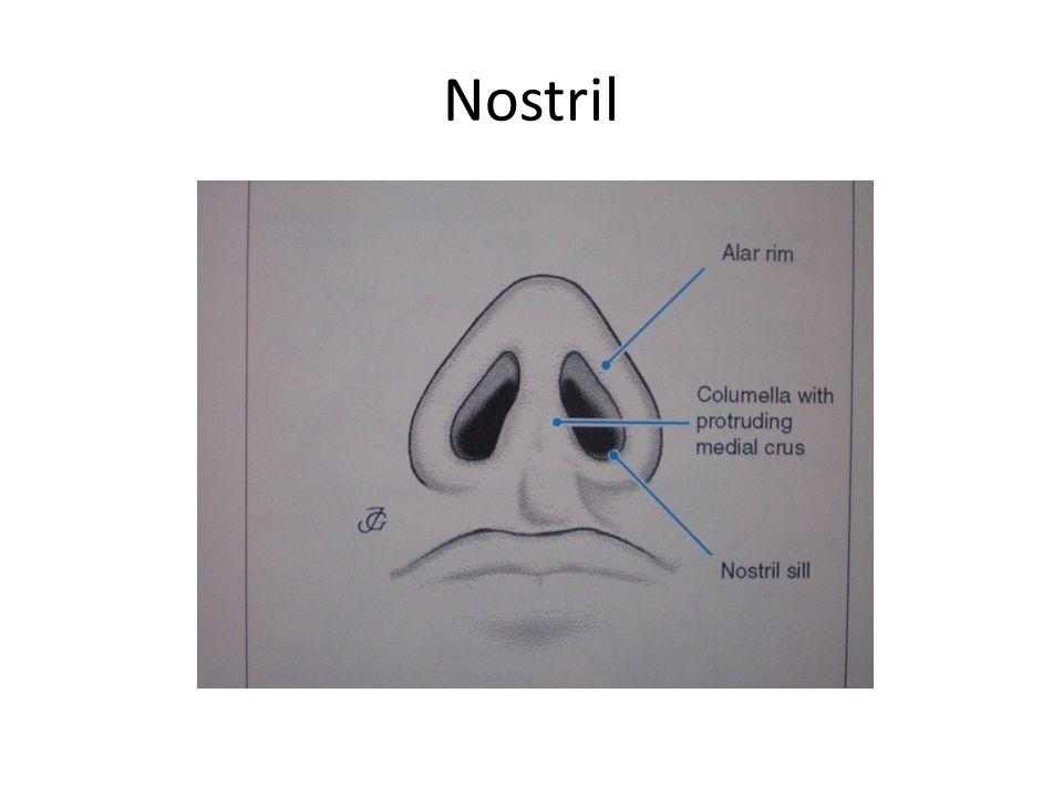 Nostril Alar rim, kolumellanın lateral sınırı ve nostril tabanından oluşur.