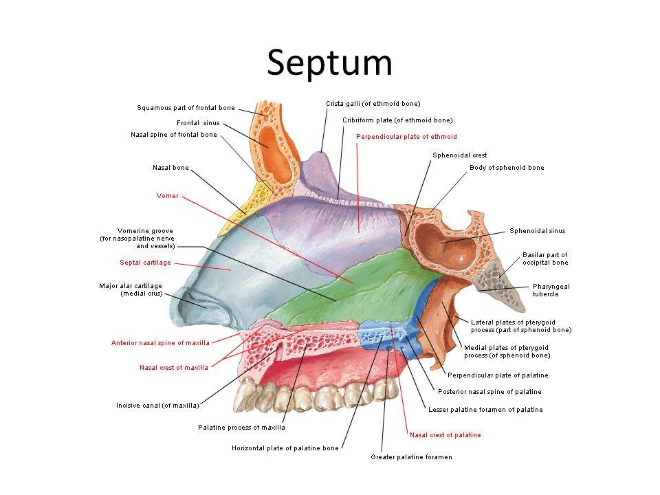 Septum Nasal septum 4 parçadan oluşur 1-Kartilaginöz septum