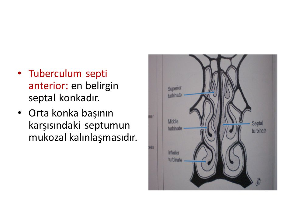 Tuberculum septi anterior: en belirgin septal konkadır.