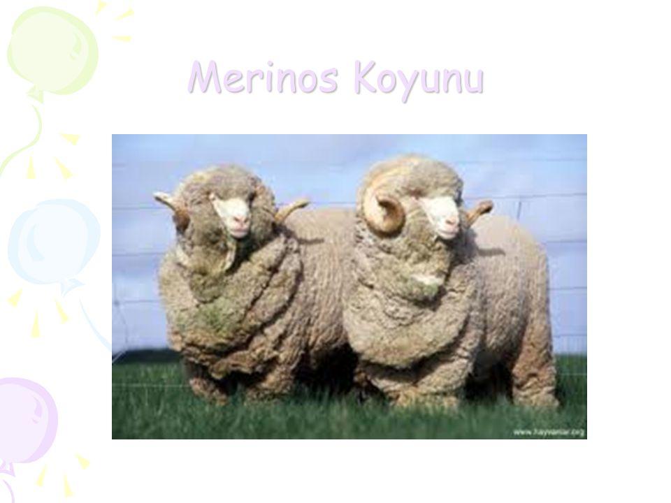 Merinos Koyunu