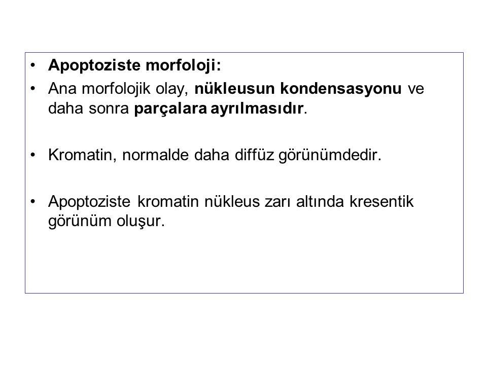 Apoptoziste morfoloji: