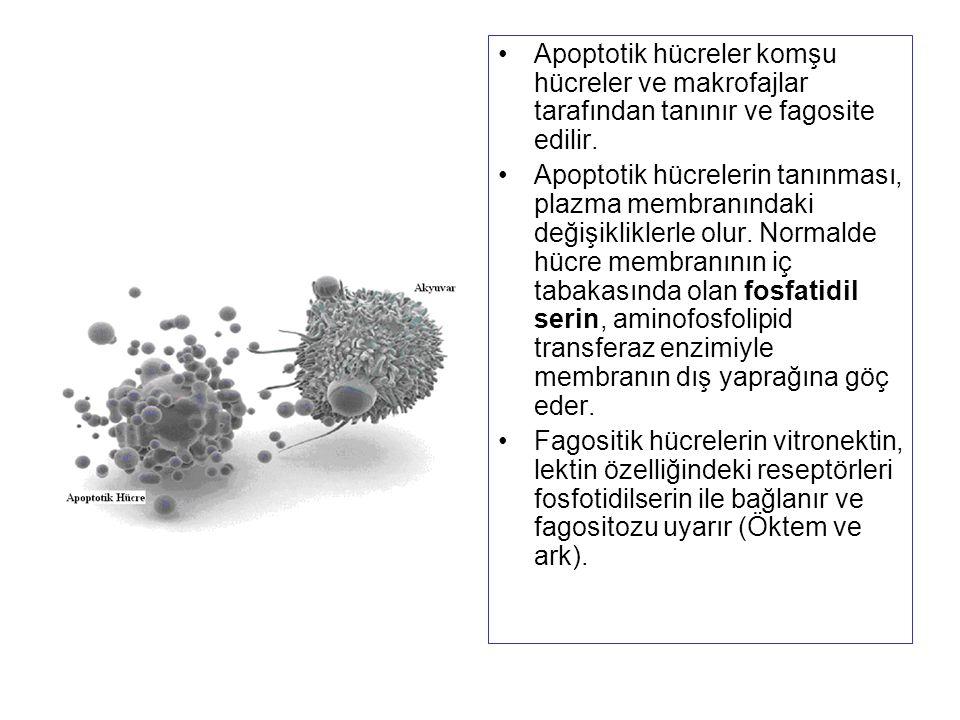 Apoptotik hücreler komşu hücreler ve makrofajlar tarafından tanınır ve fagosite edilir.