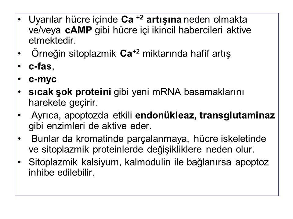 Uyarılar hücre içinde Ca +2 artışına neden olmakta ve/veya cAMP gibi hücre içi ikincil habercileri aktive etmektedir.