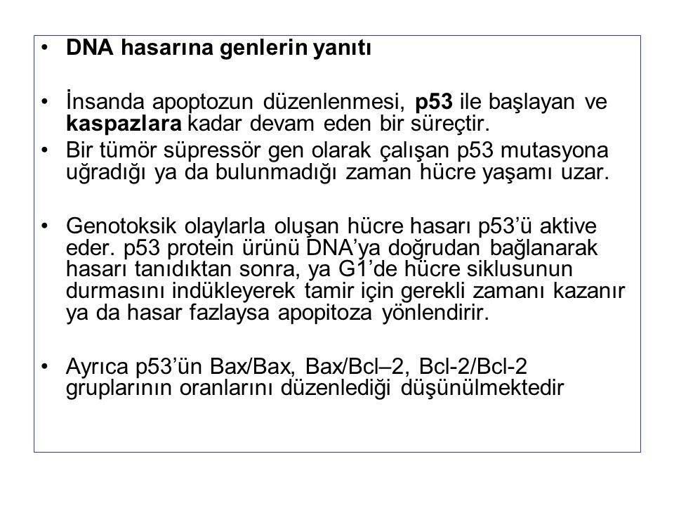 DNA hasarına genlerin yanıtı