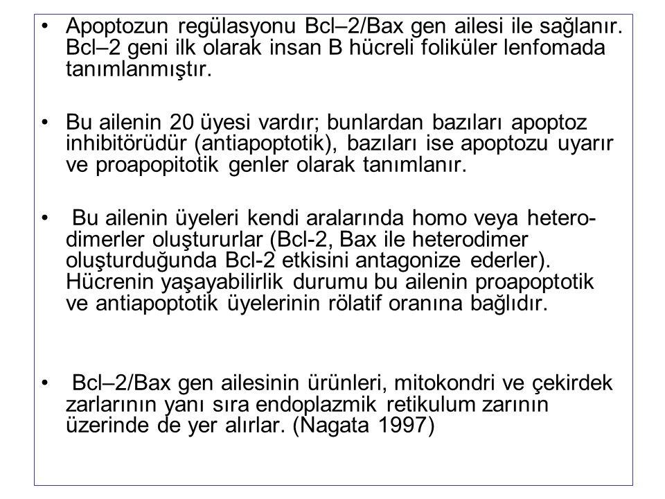 Apoptozun regülasyonu Bcl–2/Bax gen ailesi ile sağlanır