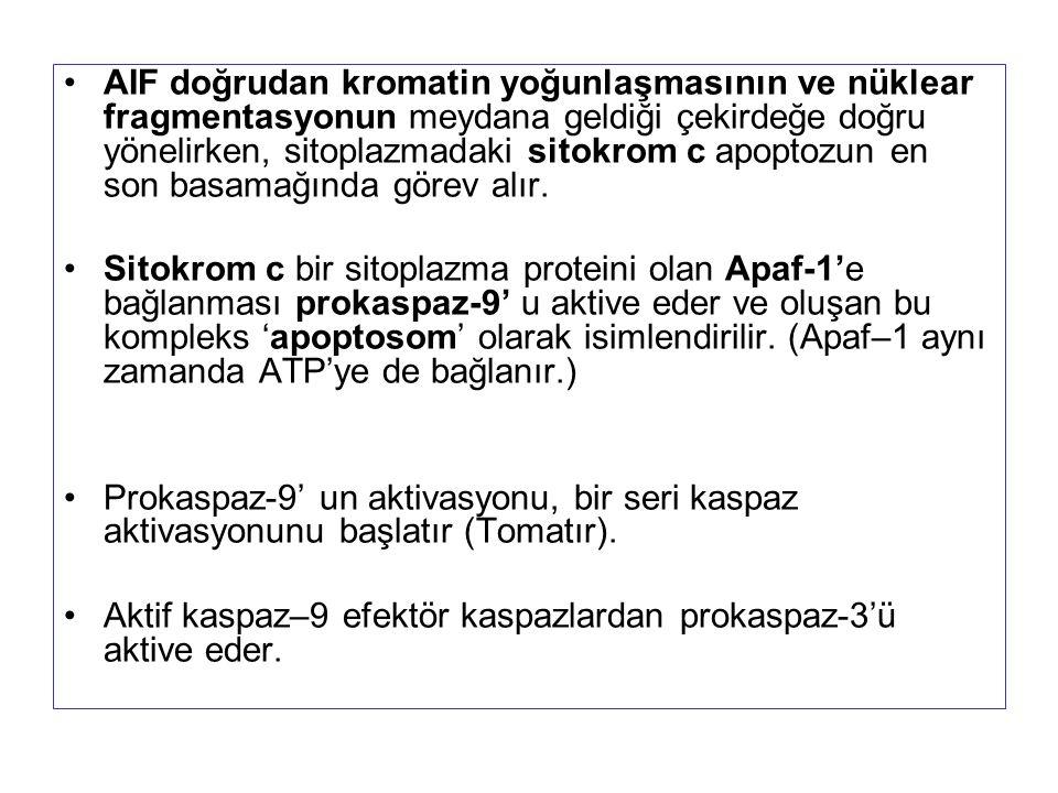 AIF doğrudan kromatin yoğunlaşmasının ve nüklear fragmentasyonun meydana geldiği çekirdeğe doğru yönelirken, sitoplazmadaki sitokrom c apoptozun en son basamağında görev alır.