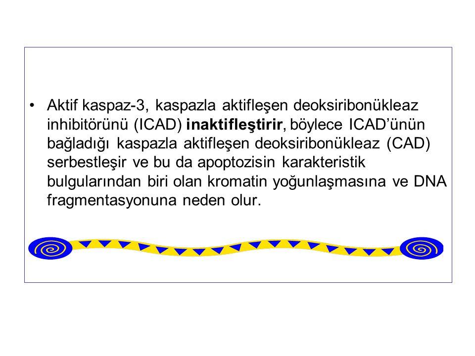 Aktif kaspaz-3, kaspazla aktifleşen deoksiribonükleaz inhibitörünü (ICAD) inaktifleştirir, böylece ICAD'ünün bağladığı kaspazla aktifleşen deoksiribonükleaz (CAD) serbestleşir ve bu da apoptozisin karakteristik bulgularından biri olan kromatin yoğunlaşmasına ve DNA fragmentasyonuna neden olur.