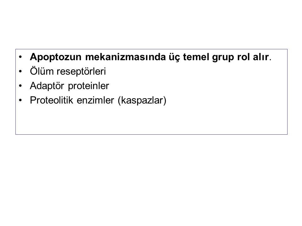 Apoptozun mekanizmasında üç temel grup rol alır.