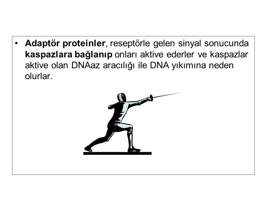 Adaptör proteinler, reseptörle gelen sinyal sonucunda kaspazlara bağlanıp onları aktive ederler ve kaspazlar aktive olan DNAaz aracılığı ile DNA yıkımına neden olurlar.