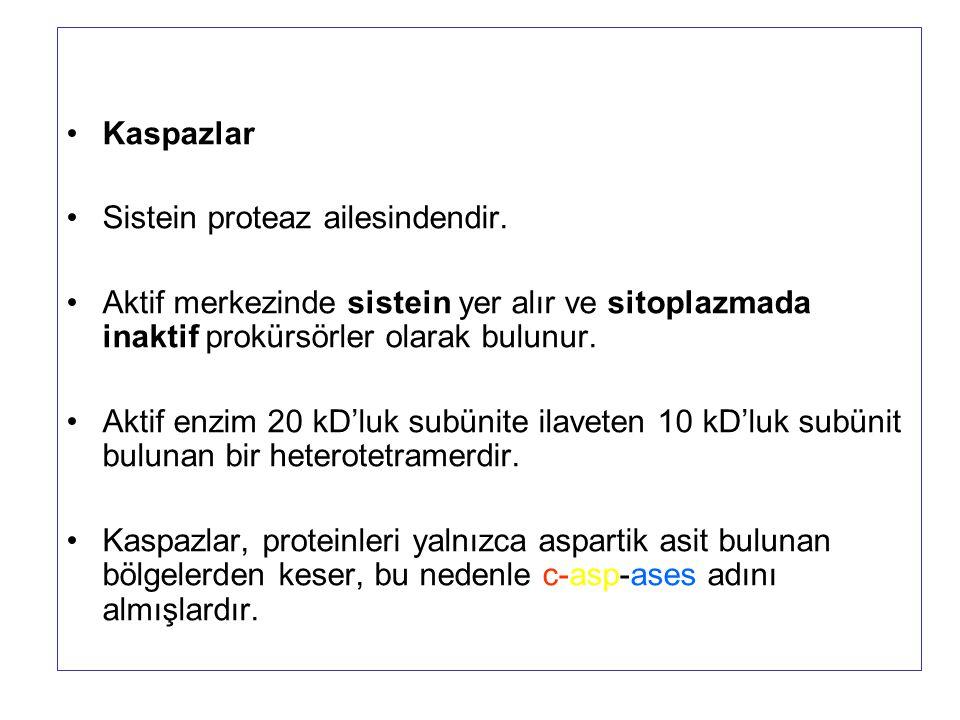 Kaspazlar Sistein proteaz ailesindendir. Aktif merkezinde sistein yer alır ve sitoplazmada inaktif prokürsörler olarak bulunur.