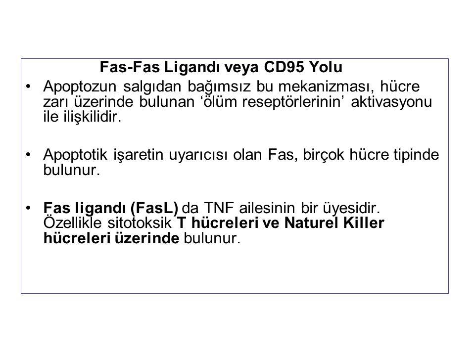 Fas-Fas Ligandı veya CD95 Yolu