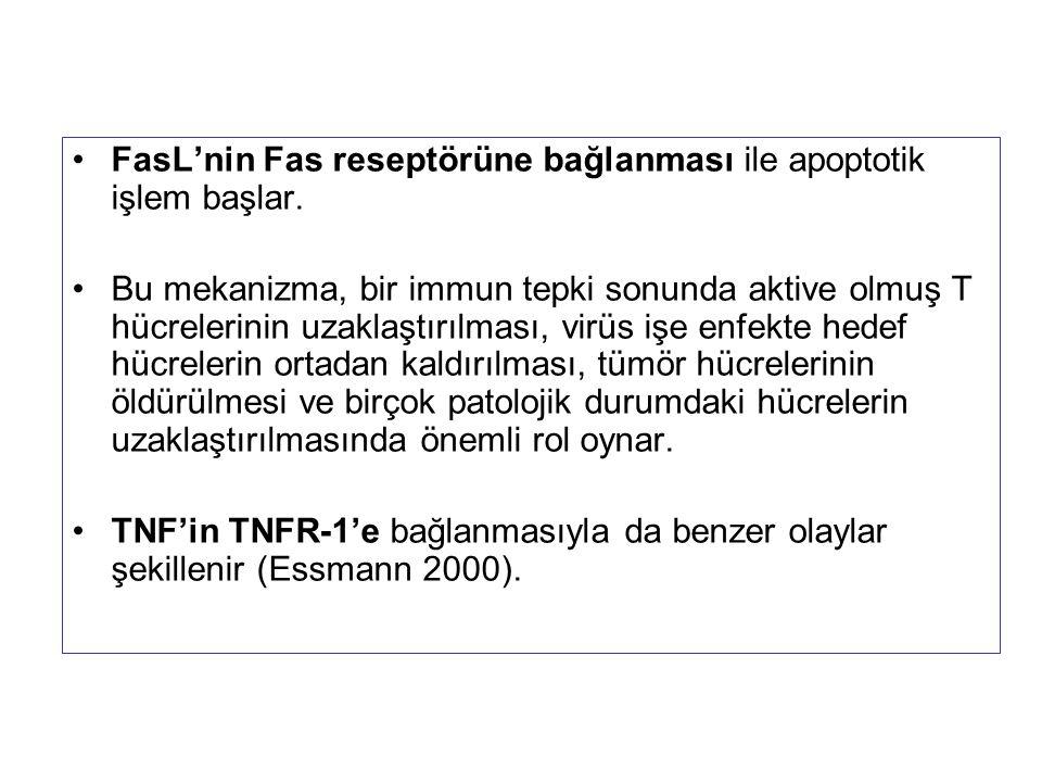 FasL'nin Fas reseptörüne bağlanması ile apoptotik işlem başlar.