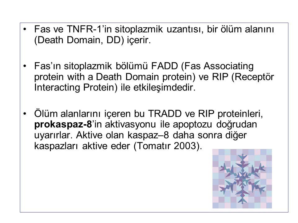 Fas ve TNFR-1'in sitoplazmik uzantısı, bir ölüm alanını (Death Domain, DD) içerir.
