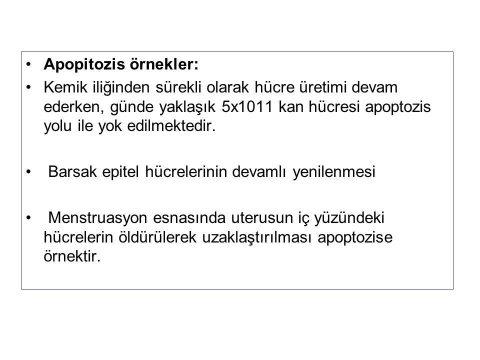 Apopitozis örnekler: