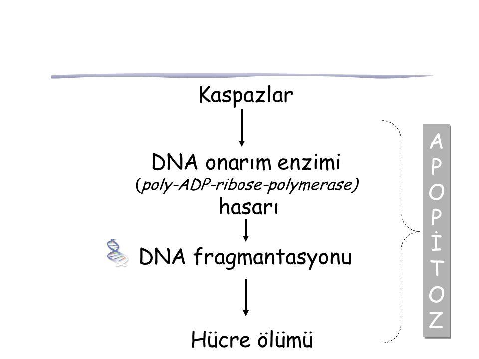 (poly-ADP-ribose-polymerase)