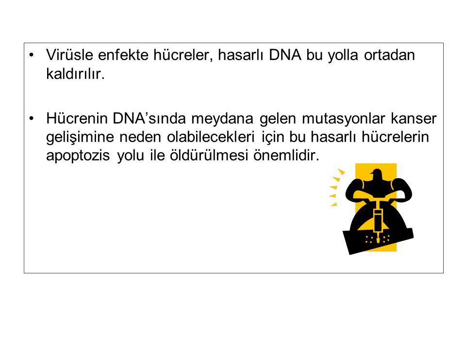 Virüsle enfekte hücreler, hasarlı DNA bu yolla ortadan kaldırılır.
