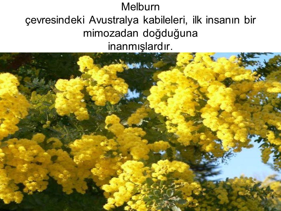 Melburn çevresindeki Avustralya kabileleri, ilk insanın bir mimozadan doğduğuna inanmışlardır.