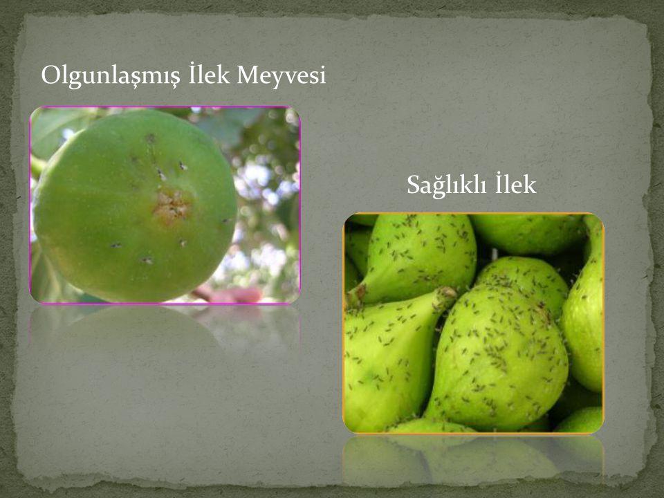 Olgunlaşmış İlek Meyvesi