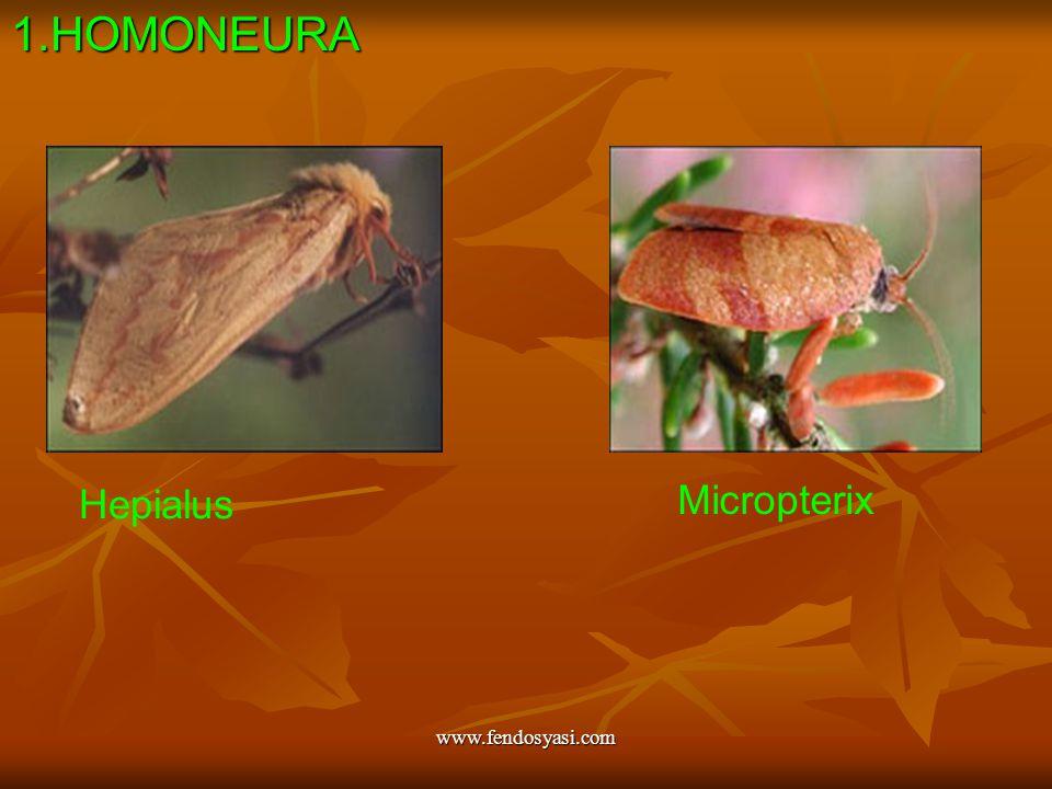 1.HOMONEURA Hepialus Micropterix www.fendosyasi.com