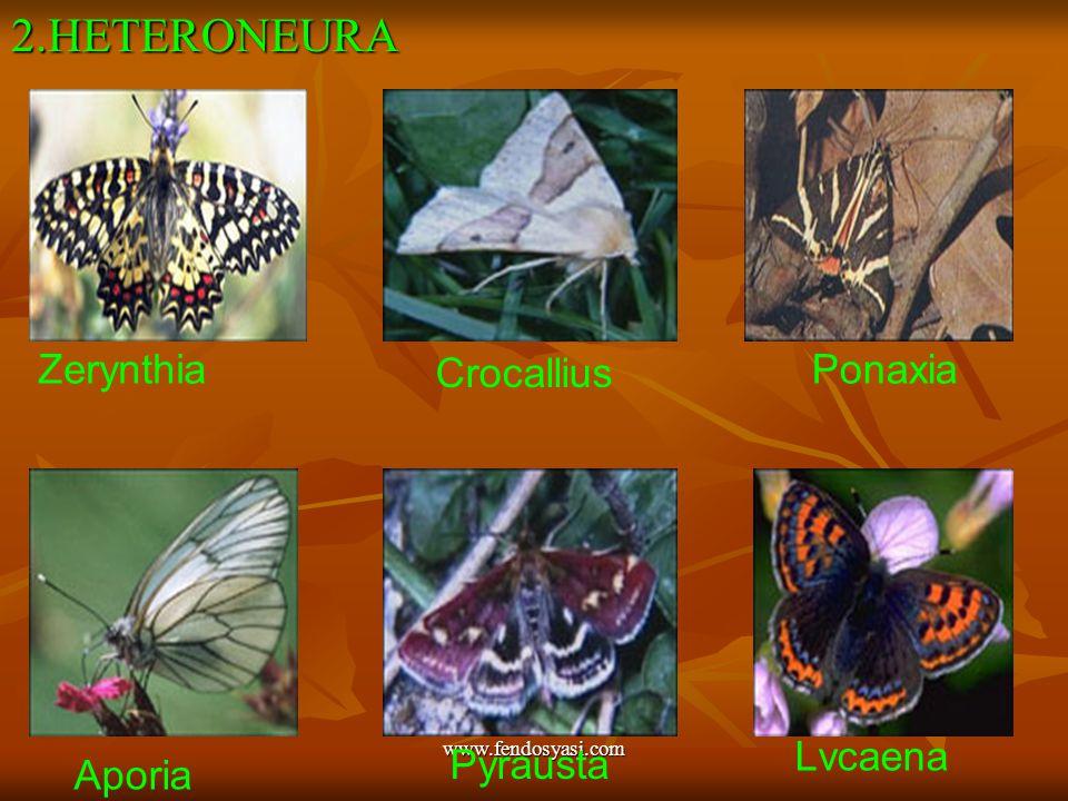 2.HETERONEURA Zerynthia Crocallius Ponaxia Lvcaena Pyrausta Aporia