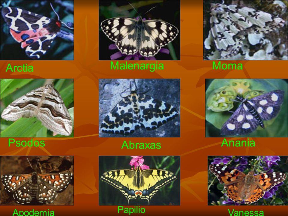 Malenargia Moma Arctia Psodos Anania Abraxas Papilio Apodemia Vanessa