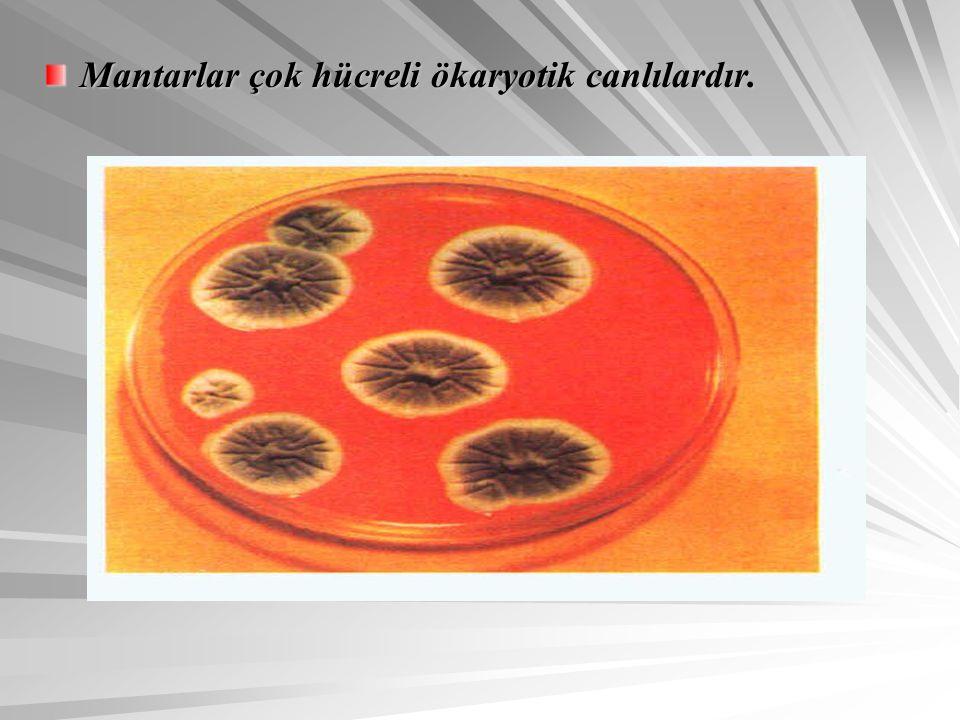 Mantarlar çok hücreli ökaryotik canlılardır.