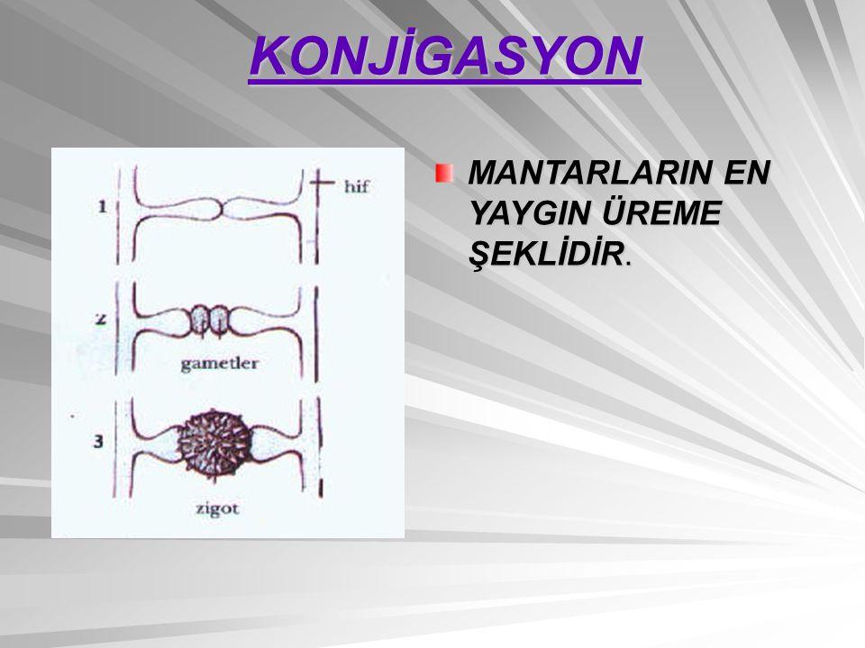 KONJİGASYON MANTARLARIN EN YAYGIN ÜREME ŞEKLİDİR.