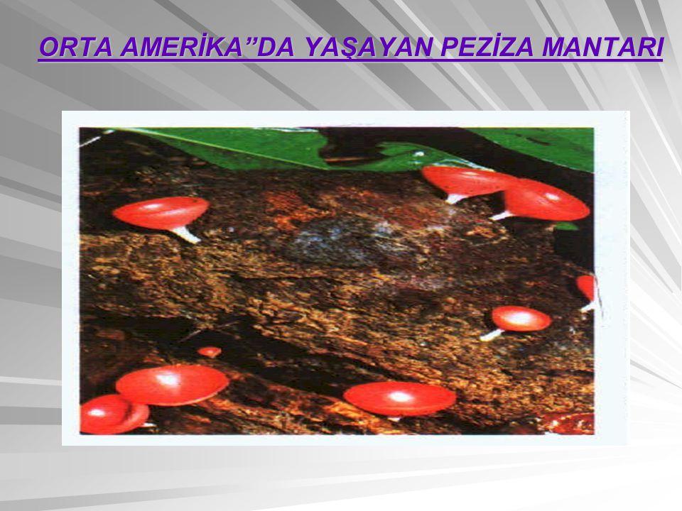 ORTA AMERİKA DA YAŞAYAN PEZİZA MANTARI