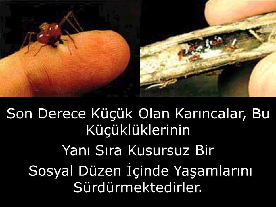 Son Derece Küçük Olan Karıncalar, Bu Küçüklüklerinin